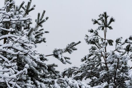 Snowy tops of two fir trees in a winter park on a background of cloudy sky