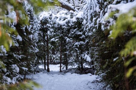 A view from behind snow bushes, a labyrinth of bushes in the park in winter, a lot of snow