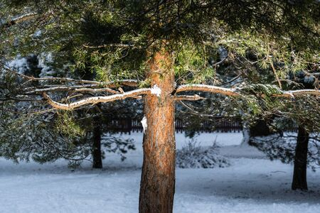 Illuminated pine trunk in the evening in a winter snowy city park beautiful wood backlight Zdjęcie Seryjne