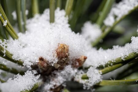 Winter snowy pine needles with small cones close-up