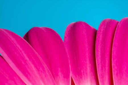 Red and pink gerbera flowers on a blue background Close up