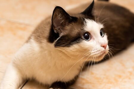 white-brown domestic cat with blue lies on the floor and looks at the camera, closeup Imagens