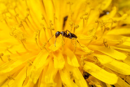 ants on a yellow flower smeared with pollen close-up