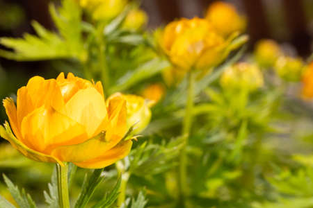 a glade of yellow buttercup flowers Trollius close up 免版税图像