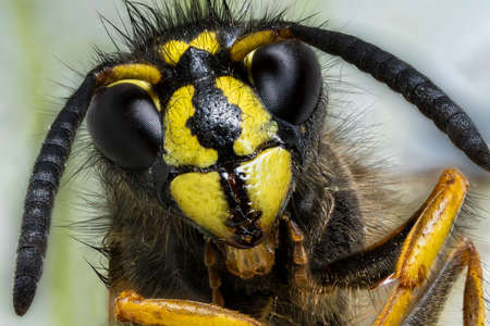 Focus stacking photo of wasp that sits and looks into the camera, super macro photo