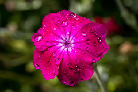 Pink flower Lychnis flos-jovis after the summer rain with drops on the petals, macro photo.