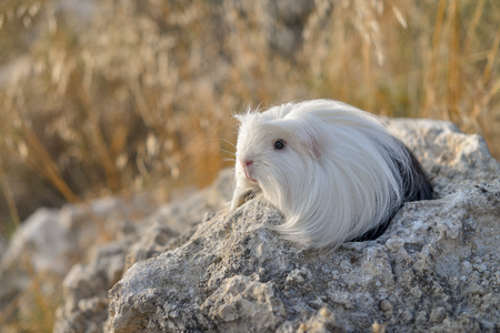 long-haired guinea pig sitting on a stone on a lawn coronet 写真素材
