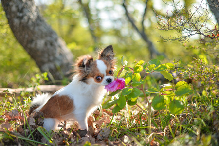 Little dog in the woods sniffing a peony flower