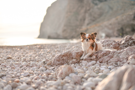 chihuahua on a beach near a cliff on the sea