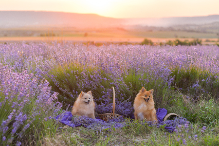 two Spitzes are sitting in the purple field of lavender, baskets
