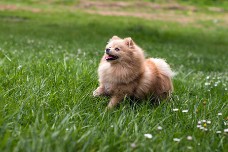 the Spitz Runs on the Grass Stock Photo