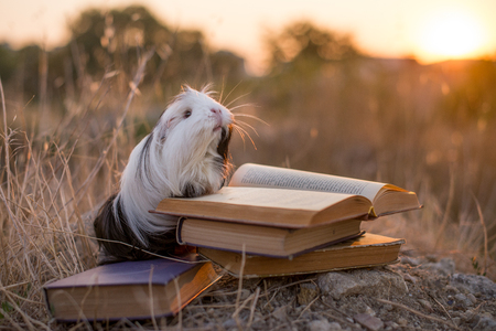 guinea pig is reading a book
