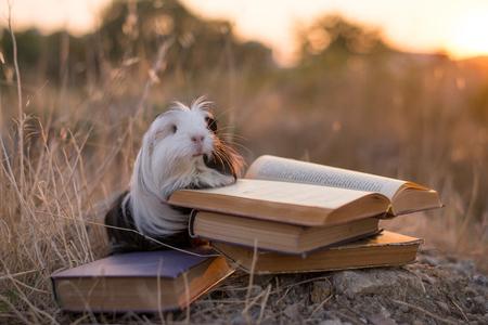guinea pig is reading a book Banco de Imagens
