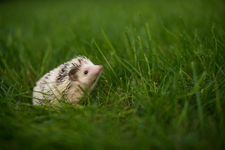 Cute hedgehog sitting in the green grass