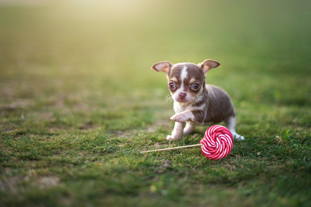 Cute puppy chihuahua sits on the green grass eats lollipop