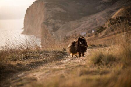 Spitz walking mountain landscape 스톡 콘텐츠