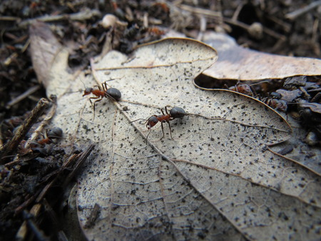 non moving activity: Ants in an anthill working in an oak forest.