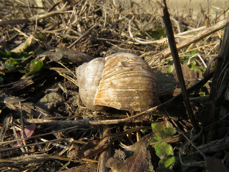 clam gardens: Old garden snail shell lying on the ground. Stock Photo