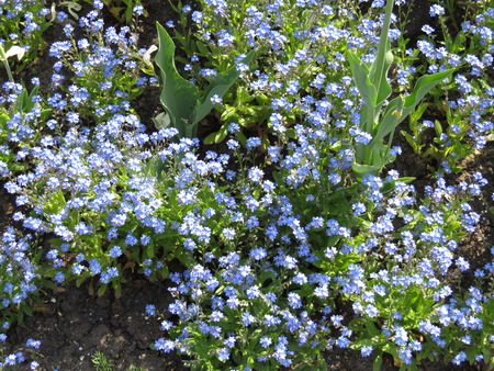 small blue flowers on a street flowerbed. photo