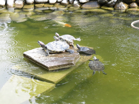 water turtle: Group of turtles sitting on rocks and basking.