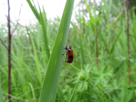 wood tick: Small beetle sitting on the grass in the meadow.