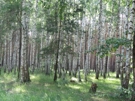 Birch grove in the woods in the summer. photo