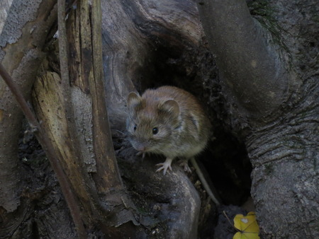 dinky: Mouse got out of the hole in the forest in search of food.