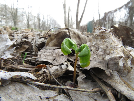 torrid: Small green sprout out of the ground in early spring. Stock Photo