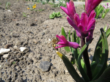 flew: Pink hyacinth flower, which flew a bee. Stock Photo
