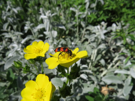 late summer: Insect on a small yellow flower collecting nectar. Stock Photo
