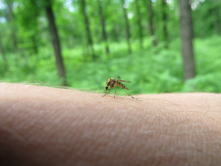 stinger: Mosquito sat on the arm and trying to suck blood.