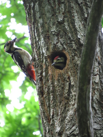 single family house: Common woodpecker feeding her chick living in a hollow.