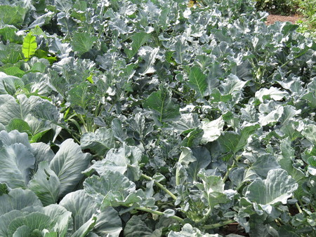 maturing: A small bed with cabbage maturing vegetables. Stock Photo