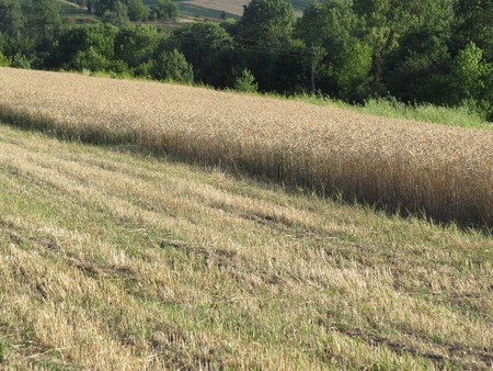 small field: A small field of wheat, partially harvest