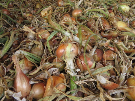 viejo: Many collected bulbs of onion in the husk Stock Photo