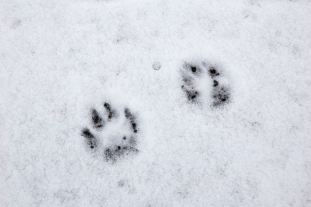 Few traces of dog on the thin snow. Stock Photo