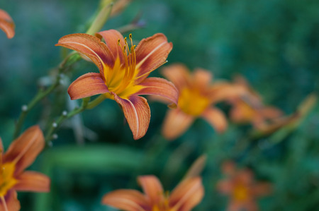 pistil: some blooming orange lilies on a green background summer