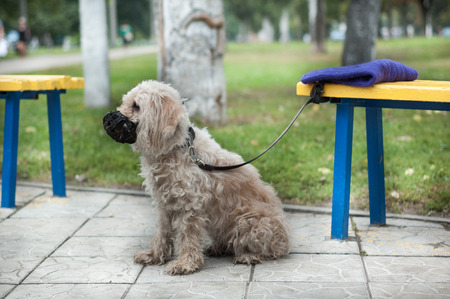 The dog is tied to a bench on a leash and muzzled