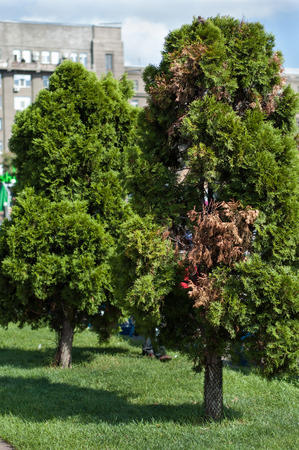 Thuja high in the middle of the park