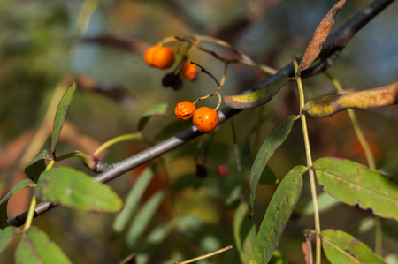 Some berries of mountain ash in the autumn on a green background.
