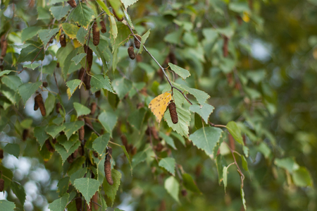 birch leaf: A yellow birch leaf from the rest green. Stock Photo