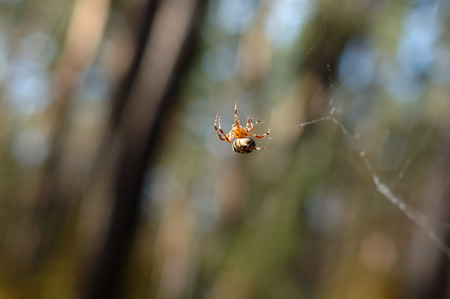 s trap: Spider on the web in the forest.