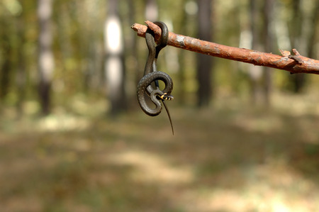 Grass snake hanging on a stick in the woods.