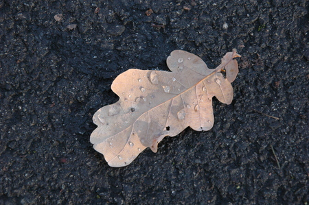 Yellow oak leaf in autumn on the asphalt.