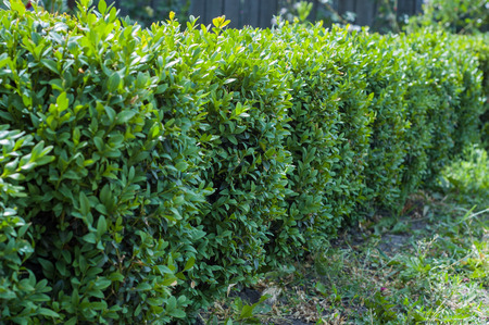 A row of neat boxwood boxes in the garden.