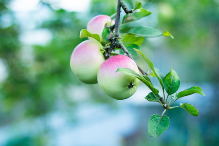 A few apples hang on the branches of an apple tree.
