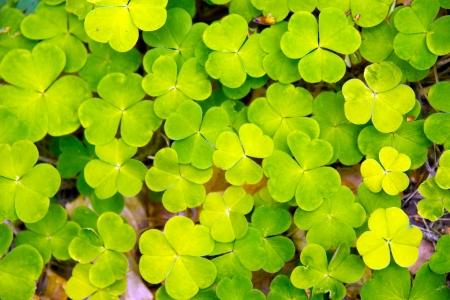lucky clover Stock Photo - 17766030