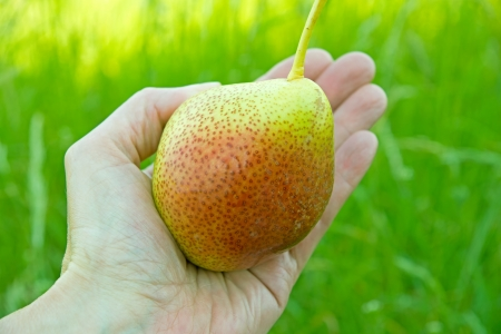 ripe pear in a hand