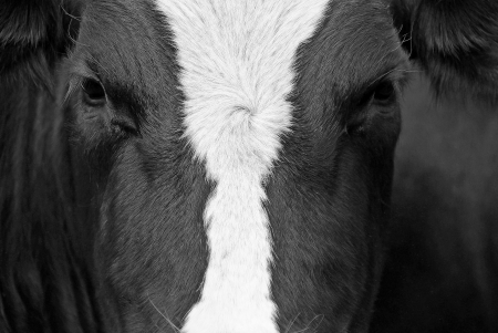 closeup cow face: cow view - The close up of a portrait from a black-and-white cow