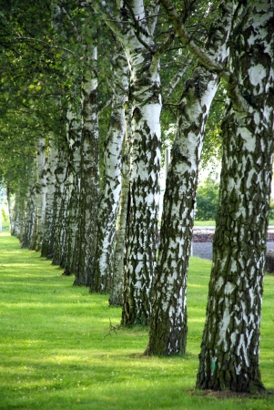Birch avenue - An avenue of birch trees on a beautiful estate Stock Photo